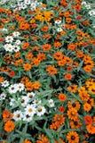 цветки маргаритки предпосылки цветастые Стоковое Фото
