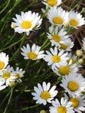 Цветки маргаритки растут как wildflowers в NYS Стоковая Фотография RF