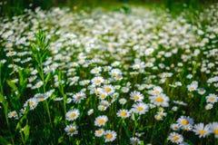 Цветки маргаритки селективного фокуса - одичалый стоцвет природа зеленого цвета травы стоцветов стоковые изображения