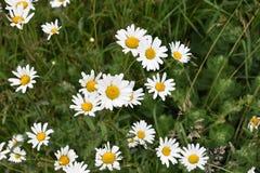 Цветки маргаритки среди растительности Стоковое фото RF