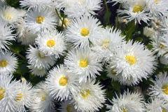 Цветки маргаритки. Стоковые Фото