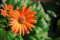Цветки маргаритки Стоковое фото RF