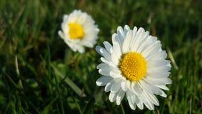 Цветки 2 маргаритки Стоковое Изображение RF