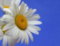 цветки маргаритки Стоковая Фотография