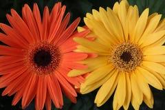 Цветки маргаритки Gerbera, макрос Стоковое Изображение RF