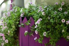 Цветки маргариток зацветая перед частоколом Стоковые Фото