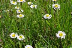 Цветки маргариток Стоковое Фото