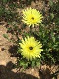 Цветки маргарит Стоковые Фото