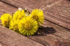 Цветки мать-и-мачеха на стенде весной стоковые изображения