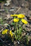 Цветки мать-и-мачеха стоковое изображение