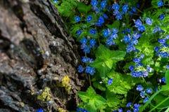 Цветки малой сини зацветая около дерева в лесе Стоковые Изображения