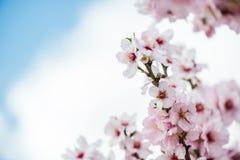 Цветки миндалины цветеня весны Стоковое Изображение RF