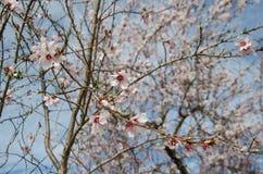 Цветки миндалины Стоковые Изображения
