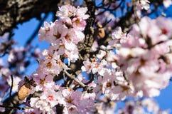 Цветки миндалины Стоковые Фото