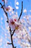 Цветки миндалины Стоковое фото RF