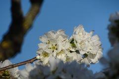 Цветки миндального дерева белые с голубым небом Стоковое Изображение