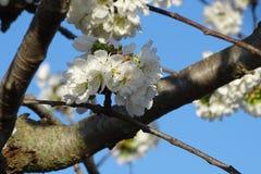 Цветки миндального дерева белые с голубым небом Стоковые Фотографии RF