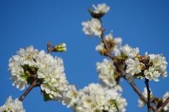 Цветки миндального дерева с голубым небом Стоковые Изображения