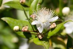 Цветки Миртл Стоковое Изображение