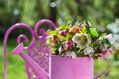 Цветки морозников в розовой моча консервной банке стоковое изображение