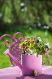 Цветки морозников в розовой моча консервной банке стоковое фото