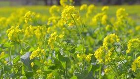 Цветки мустарда поля, в парке Showa Kinen, токио, Япония акции видеоматериалы