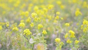 Цветки мустарда поля, в парке Showa Kinen, токио, Япония сток-видео