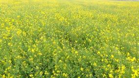 Цветки мустарда Стоковые Фотографии RF