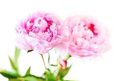 Цветки мягкого розового пиона при листья изолированные на задней части белизны Стоковое Фото