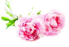 Цветки мягкого розового пиона при листья изолированные на задней части белизны Стоковые Изображения