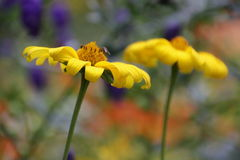 цветки Мягк-фокуса желтые Стоковая Фотография RF
