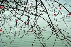 цветки над водой хворостин персика стоковые фотографии rf