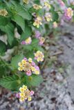 Цветки на береге озера Garda Стоковая Фотография