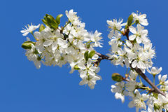 Цветки на ветви фруктового дерев дерева Стоковое Фото