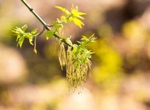 Цветки на ветвях клена весной Стоковая Фотография RF