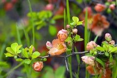 Цветки на дереве айвы Стоковые Фото