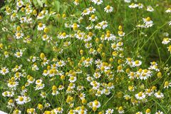 Цветки немецкого стоцвета, chamomilla Matricaria, Баварии, Германии, Европы стоковое фото