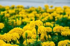 Цветки ноготков в саде стоковая фотография