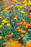 Цветки ноготков ферзя сафари Tagetes красивейшее лето сада Стоковая Фотография RF