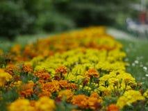 Цветки ноготк - оранжевые и желтые Стоковое фото RF