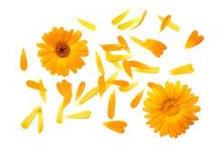 Цветки ноготк с лепестками изолированными на белой предпосылке цветка дня calendula поднимающее вверх близкого солнечное Взгляд с стоковые изображения