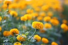 Цветки ноготк Стоковое фото RF