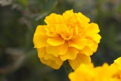 Цветки ноготк Стоковые Изображения