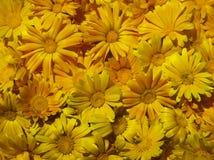 Цветки ноготк стоковая фотография