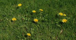 Цветки общего одуванчика, officinale taraxacum, Нормандия, видеоматериал