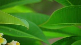 Цветки общего frangipani rubra Plumeria зацветая сток-видео
