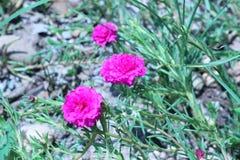 Цветки, общий портулак цветут то цветене в утре Стоковое фото RF
