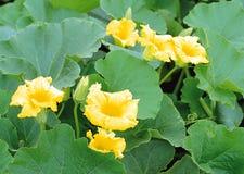 Цветки огурца стоковые изображения