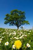 цветки одуванчика маргаритки Стоковые Изображения RF