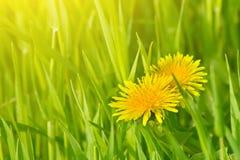 цветки одуванчика Стоковое Изображение